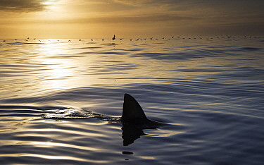 Great white shark (Carcharodon carcharias) cruising on the surface at dusk, Dyer Island, Gansbaai, South Africa