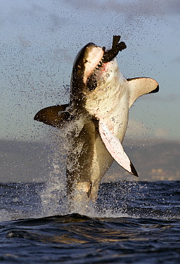 Great white shark (Carcharodon carcharias) breaching whilst attacking seal decoy, Seal Island, False Bay South Africa.
