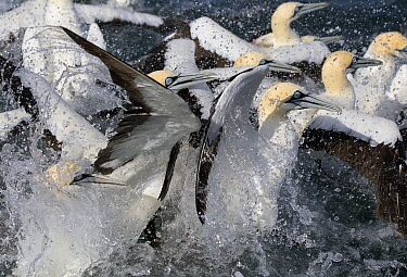 Cape Gannets (Morus capensis) feeding on sardines, False Bay, Cape Town, South Africa.