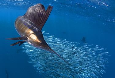 Indo Pacific Sailfish (Istiophorus platypterus) feeding on sardines, Isla Mujeres, Mexico.