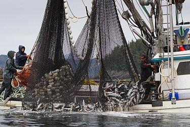 Salmon fishing boat commercially netting Pink salmon (Oncorhynchus gorbuscha) Prince William Sound, Alaska, USA.