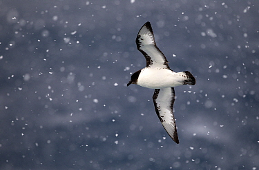 Pintado petrel (Daption capense) flying in snow, Southern Ocean.