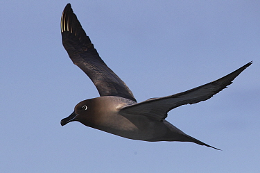Sooty Albatros (Phoebetria fusca) at sea off South Georgia Island, Antarctica