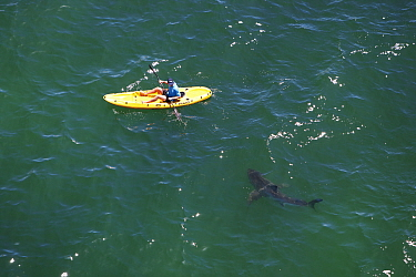 Great white shark (Carcharodon carcharias) investigating kayaker, Mossel Bay, South Africa.