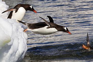 Gentoo penguins (Pygoscelis papua) diving into the ocean, Antarctic peninsula, Antarctica.