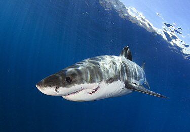 Great white shark (Carcharodon carcharias) with large great white shark bite, Guadalupe Island, Mexico.