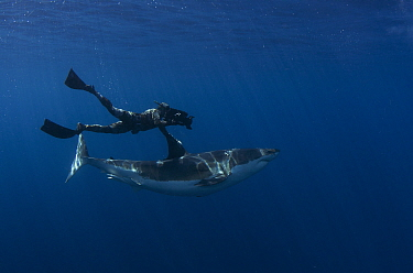Great white shark (Carcharodon carcharias) with free diving cameraman, Guadalupe Island, Mexico.