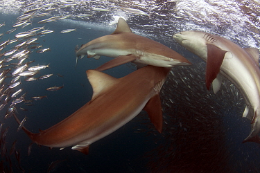 Bronze whaler sharks (Carcharhinus brachyurus) feeding on sardines (Sardinops ocellata) East London, South Africa.