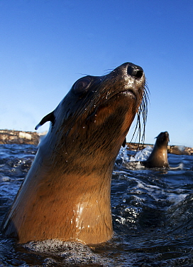 Cape fur seal (Arctocephalus pussilus) portrait, at water surface, Seal Island, False Bay, Cape Town, South Africa.