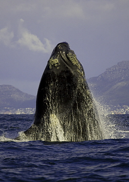 Southern right whale (Eubalaena australis) spyhopping, False Bay, Cape Town, South Africa.
