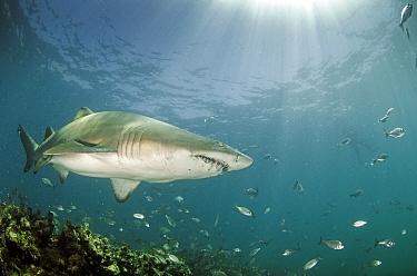 Ragged tooth shark (Carcharias taurus), De Hoop, South Africa, January.