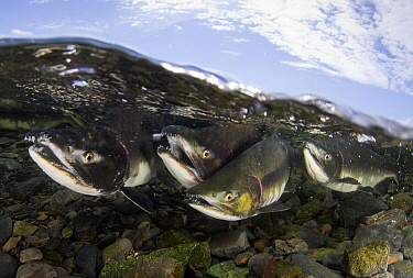 Pink Salmon (Oncorhynchus gorbuscha) fighting for the right to mate in a small shallow river, Prince William Sound, Alaska, August.
