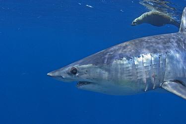 Mako Shark (Isurus oxyrinchus) and Cape fur seal (Arctocephalus pussilus) profile, Cape Point, South Africa.