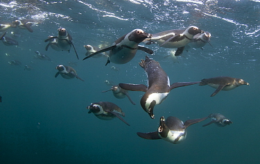 African penguins (Spheniscus demersus) hunting underwater, False Bay, Cape Town, South Africa.