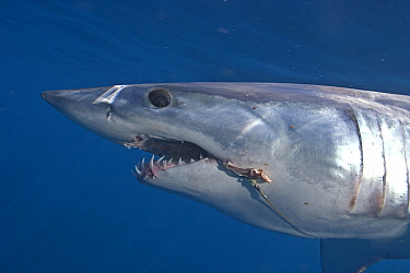 Mako Shark (Isurus oxyrinchus) with longline hooks in mouth, Cape Point, South Africa.