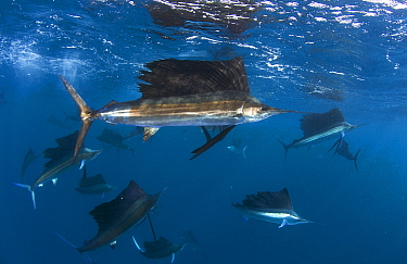 Indo Pacific Sailfish (Istiophorus platypterus) groups feeding on sardines, Isla Mujeres, Mexico.