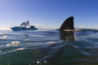 Great white shark (Carcharodon carcharias) fin above the water and leisure boat in the background, with Seal Island, False Bay, South Africa.