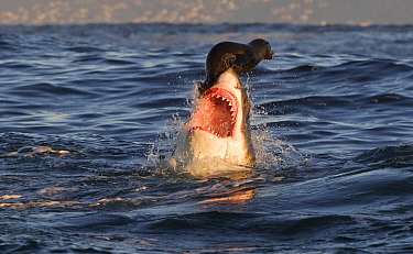 Great white shark (Carcharodon carcharias) attacking Cape fur seal (Arctocephalus pusillus), Seal Island, South Africa, August.