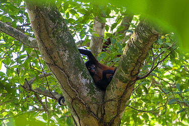 Black-handed spider monkey (Ateles geoffroyi) Corcovado National Park, Osa Peninsula, Costa Rica