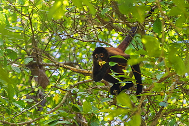 Black-handed spider monkey (Ateles geoffroyi) feeding on fruit in a tree Corcovado National Park, Osa Peninsula, Costa Rica