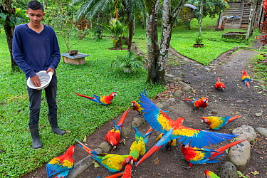 Scarlet macaw (Ara macao) and hybrid macaws with Great Green Macaw (Ara ambigua) at a breeding centre being fed. These macaws are already released and fly free in the surrounding forest but once a day...