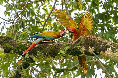 Wild Buffon's macaw x Scarlet macaw (Ara ambiguus x Ara macao), courtship, Heredia, Costa Rica