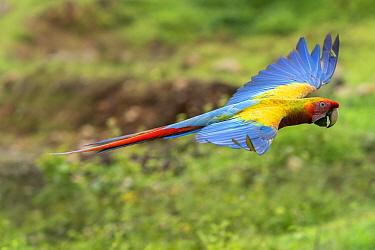 Wild Buffon's macaw x Scarlet macaw (Ara ambiguus x Ara macao) hybrid Heredia, Costa Rica