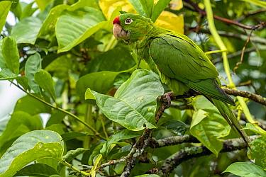 Finsch's parakeet (Aratinga finschi) La Selva Biological Research Station, Costa Rica