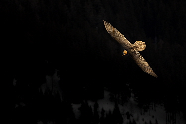 Lammergeier or Bearded Vulture (Gypaetus barbatus) in flight over forests on the mountain sides Leukerbad, Wallis, Valais, Switzerland, March