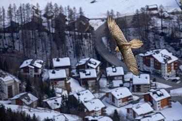 Lammergeier or Bearded Vulture (Gypaetus barbatus) in flight over Leukerbad, a little town in the Alps Leukerbad, Wallis, Valais, Switzerland, March