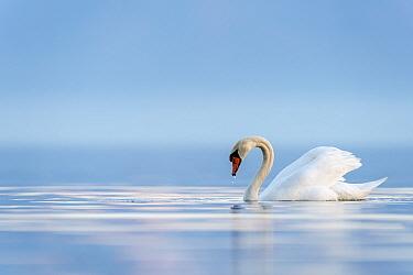 Mute swan (Cygnus olor) Lake Geneva, near Geneva, Switzerland, March