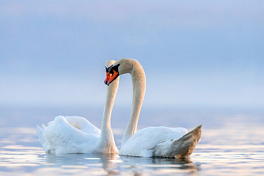 Mute swan (Cygnus olor) couple courting Lake Geneva, near Geneva, Switzerland, March