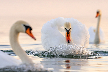 Mute swan (Cygnus olor) in a threathening territorial pose and attacking a rival Lake Geneva, near Geneva, Switzerland, March