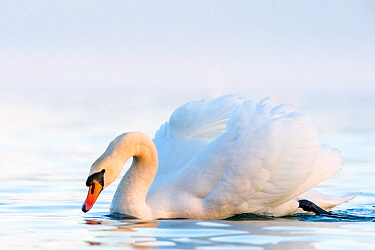 Mute swan (Cygnus olor) in a threathening territorial pose Lake Geneva, near Geneva, Switzerland, March