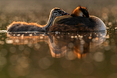 Great crested grebe (Podiceps cristatus) adult with young chick in backlight Valkenhorst Nature Reserve, Valkenswaard, The Netherlands, May