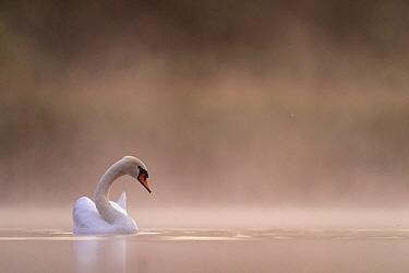 Mute swan (cygnus olor) in the first light in the mist Valkenhorst Nature Reserve, Valkenswaard, The Netherlands, June