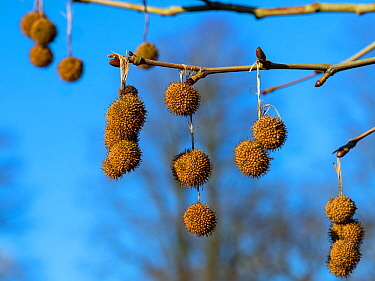 London plane tree (Platanus x hispanicus) fruits in winter, Norfolk, England, UK. March.