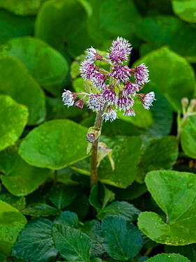 Winter heliotrope (Petasites fragrans) garden flower, Norfolk, England, UK, January.