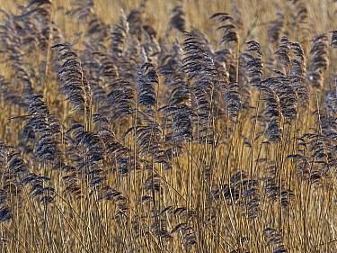 RF - Reed (Phragmites communis) bed, Norfolk (This image may be licensed either as rights managed or royalty free.)