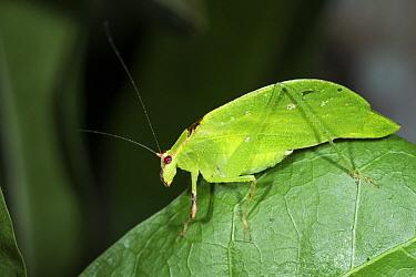 Green cricket, mimicking leaf, coastal rainforest, Mata Atlantica, Bahia, Brazil.