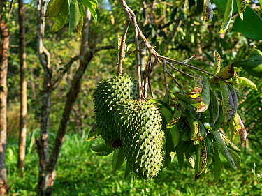Soursop fruit ( Annona muricata) Mata Atlantica, Bahia, Brazil.