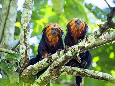 Two Golden-headed lion tamarin (Leontopithecus chrysomelas) in tree, coastal rainforest, Mata Atlantica, Bahia, Brazil.