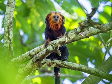 Golden-headed lion tamarin (Leontopithecus chrysomelas) coastal rainforest, Mata Atlantica, Bahia, Brazil.