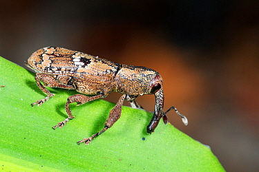 Weevil (Curcilionidae) in rainforest near Manaus, Amazon Basin, Brazil.