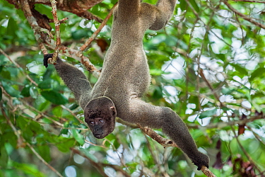 Grey woolly monkey (Lagothrix cana) hanging upside down with baby, rainforest, Amazon, Brazil.