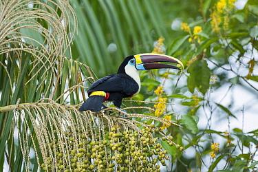 White-throated toucan (Ramphastos tucanus cuvieri) feeding on palm fruit, rainforest near Manaus, Amazon Basin, Brazil.