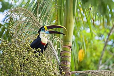 White-throated toucan (Ramphastos tucanus cuvieri) feeding on palm fruit, Rrainforest near Manaus, Amazon Basin, Brazil.