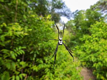 Spider (Nephila clavipes) coastal rainforest, Mata Atlantica, Bahia, Brazil.