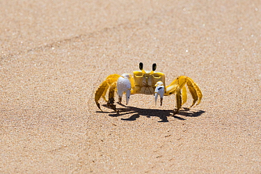 Atlantic ghost crab (Ocypode quadrata) running on the beach, Boipeba Island, Bahia, Brazil.