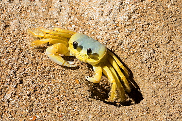 Atlantic ghost crab (Ocypode quadrata) on the beach at its hole, Boipeba Island, Bahia, Brazil.